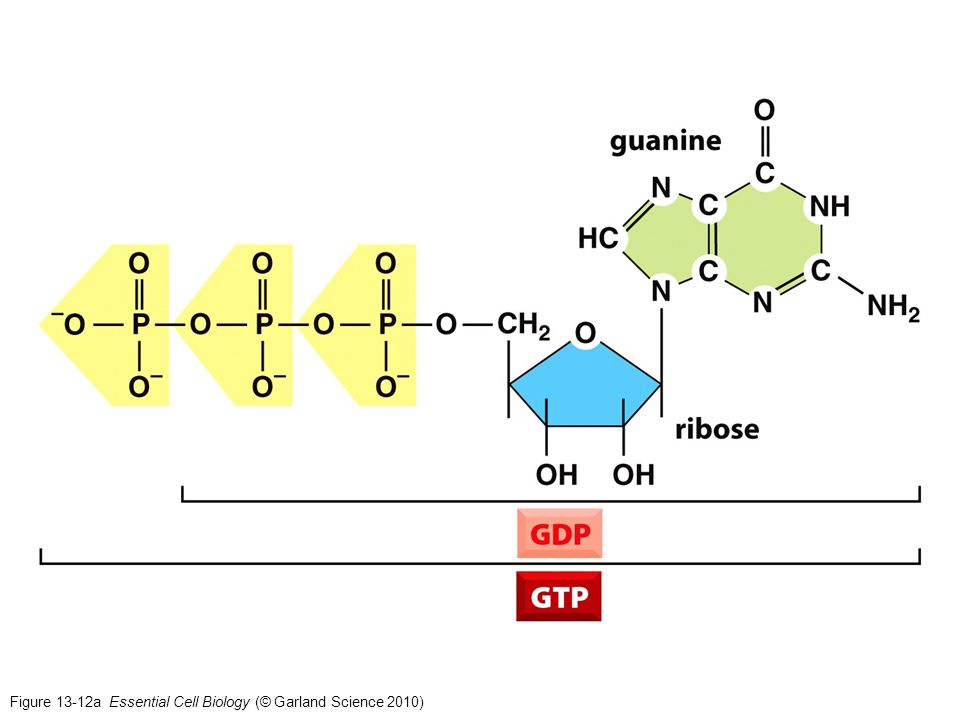 Figure 13-12a Essential Cell Biology (© Garland Science 2010)