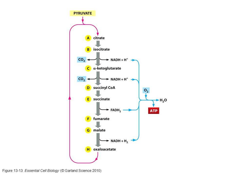 Figure 13-13 Essential Cell Biology (© Garland Science 2010)