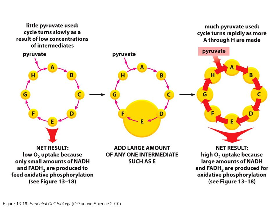 Figure 13-16 Essential Cell Biology (© Garland Science 2010)