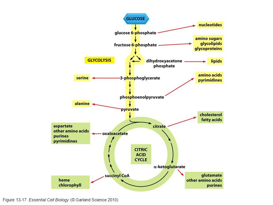 Figure 13-17 Essential Cell Biology (© Garland Science 2010)