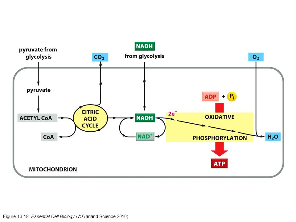 Figure 13-18 Essential Cell Biology (© Garland Science 2010)