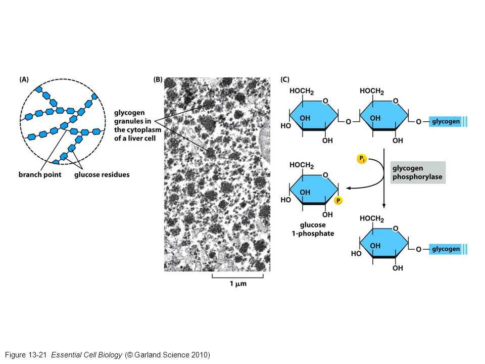 Figure 13-21 Essential Cell Biology (© Garland Science 2010)