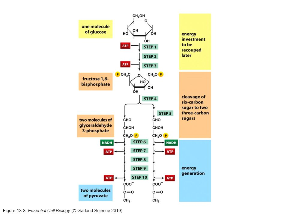 Figure 13-3 Essential Cell Biology (© Garland Science 2010)