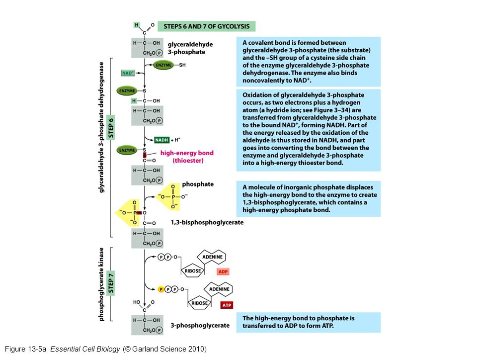 Figure 13-5a Essential Cell Biology (© Garland Science 2010)