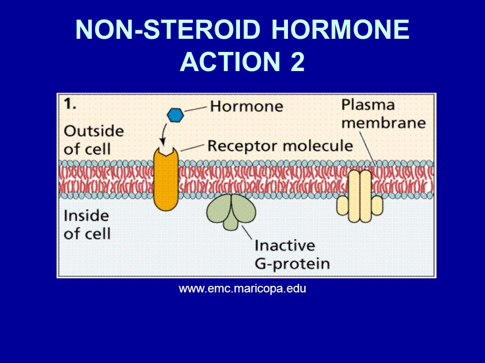 NON-STEROID HORMONE ACTION 2