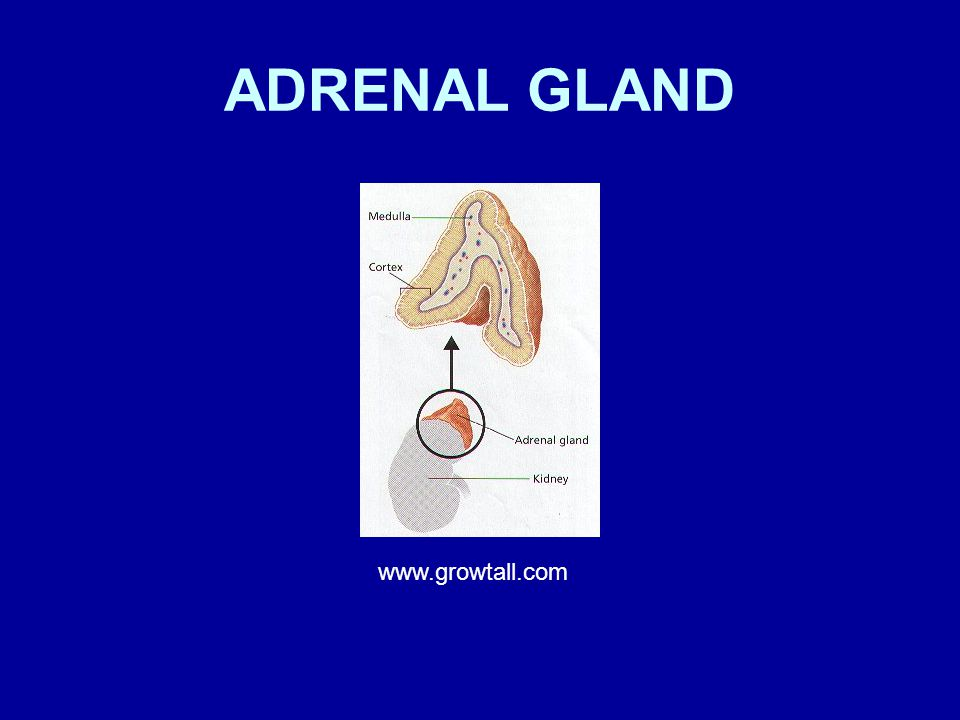 ADRENAL GLAND www.growtall.com