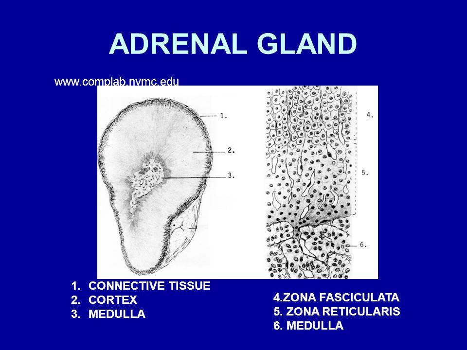 ADRENAL GLAND www.complab.nymc.edu CONNECTIVE TISSUE CORTEX