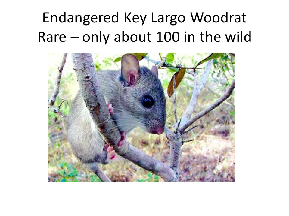 Endangered Key Largo Woodrat Rare – only about 100 in the wild