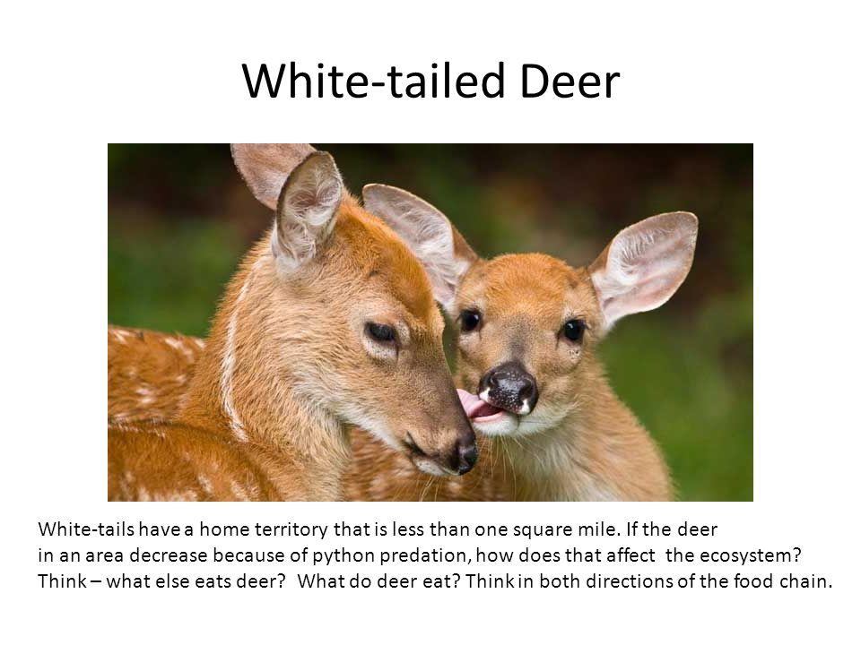 White-tailed Deer White-tails have a home territory that is less than one square mile. If the deer.