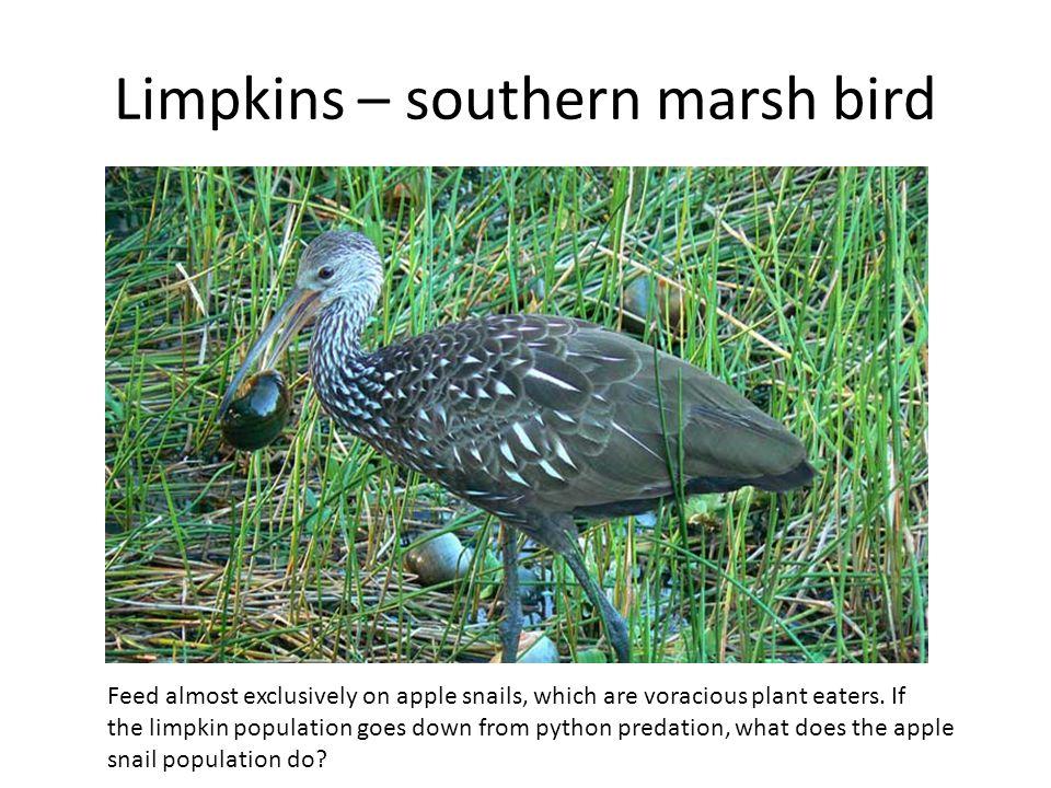 Limpkins – southern marsh bird