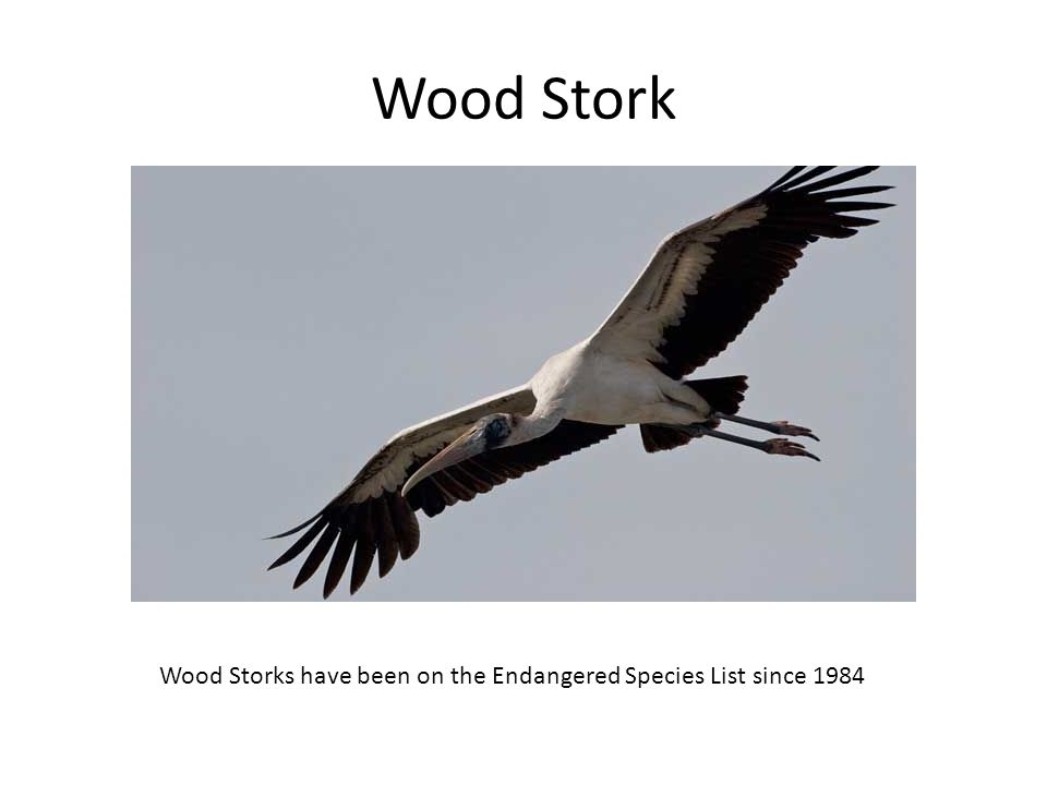 Wood Stork Wood Storks have been on the Endangered Species List since 1984