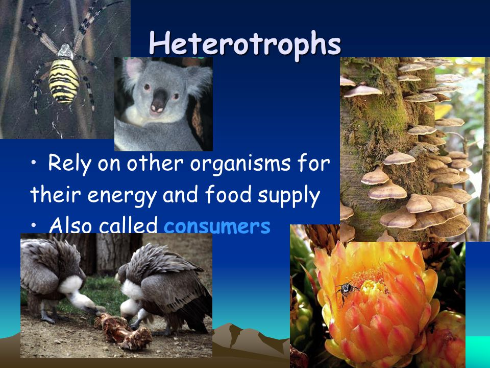 Heterotrophs Rely on other organisms for their energy and food supply