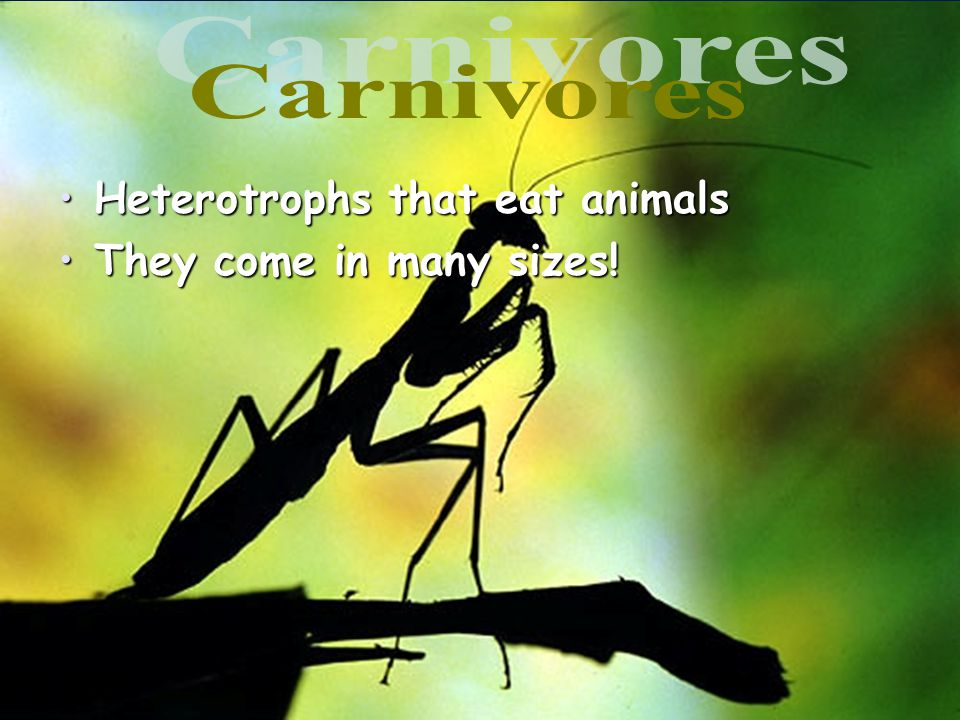 Carnivores Heterotrophs that eat animals They come in many sizes! 24