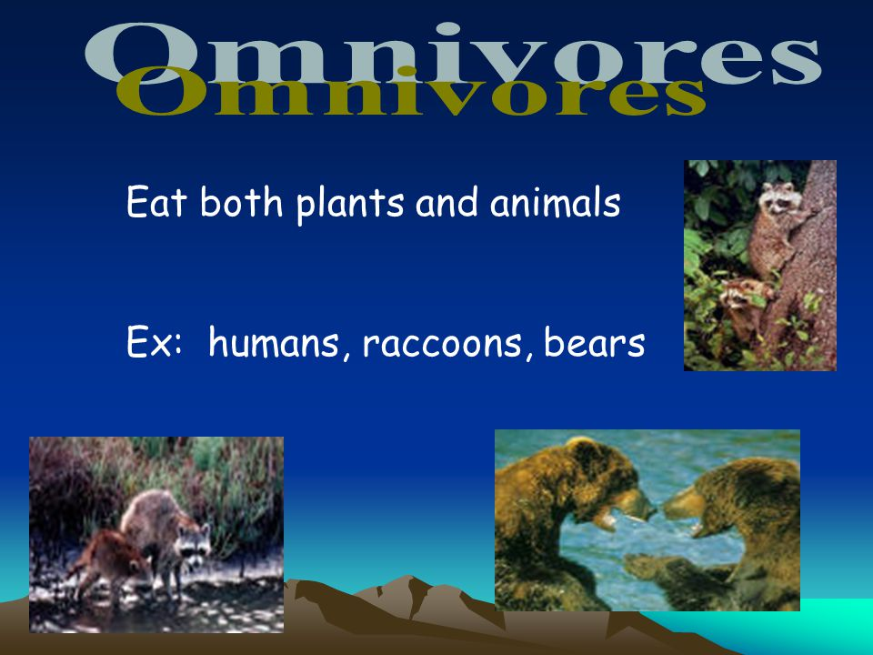 Omnivores Eat both plants and animals Ex: humans, raccoons, bears 25
