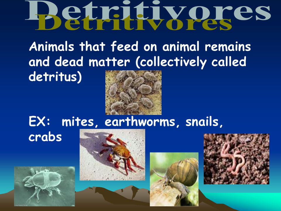 Detritivores Animals that feed on animal remains and dead matter (collectively called detritus) EX: mites, earthworms, snails, crabs.