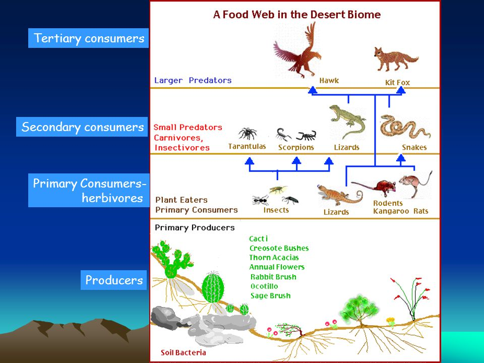 Tertiary consumers Secondary consumers Primary Consumers- herbivores