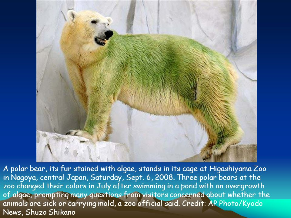 A polar bear, its fur stained with algae, stands in its cage at Higashiyama Zoo in Nagoya, central Japan, Saturday, Sept.