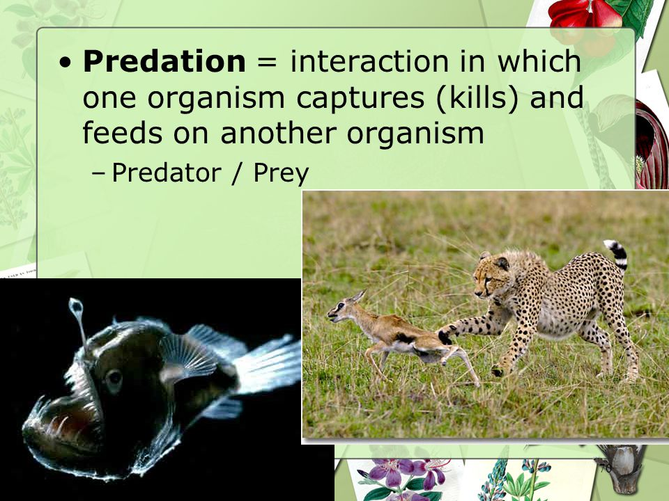 Predation = interaction in which one organism captures (kills) and feeds on another organism