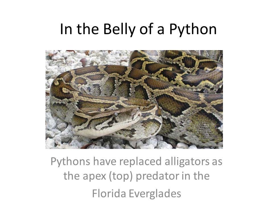 Pythons have replaced alligators as the apex (top) predator in the