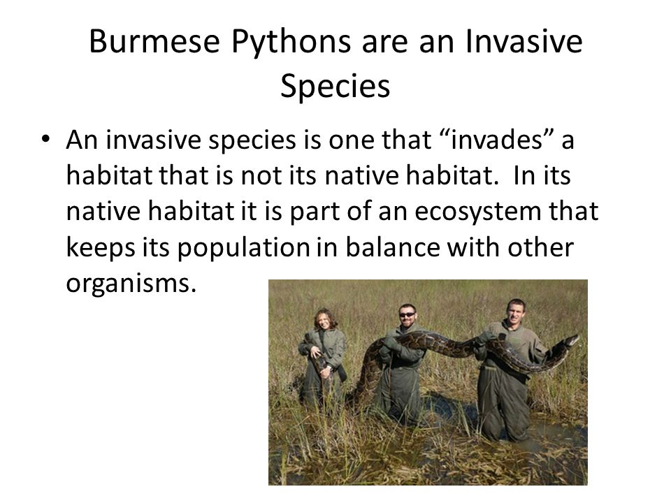 Burmese Pythons are an Invasive Species