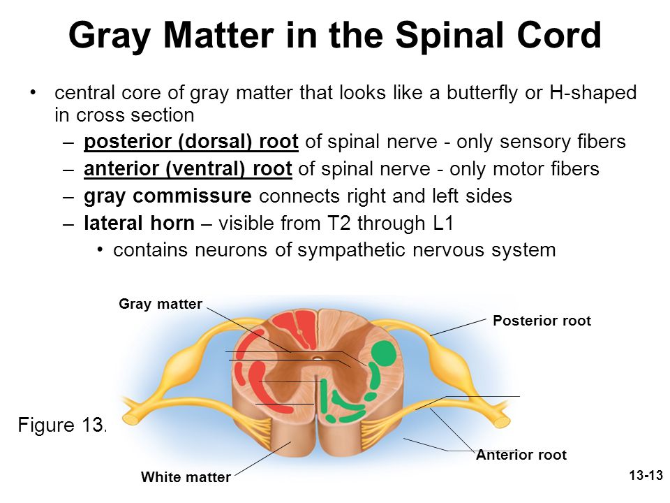 Gray Matter in the Spinal Cord