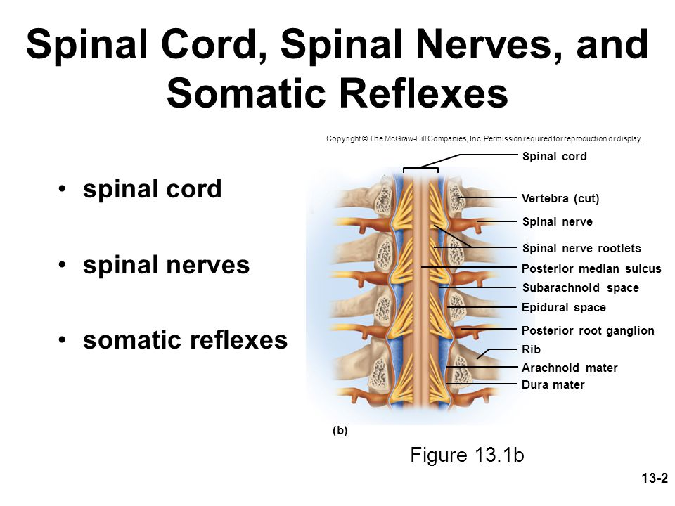 Spinal Cord, Spinal Nerves, and Somatic Reflexes