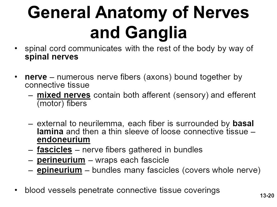 General Anatomy of Nerves and Ganglia