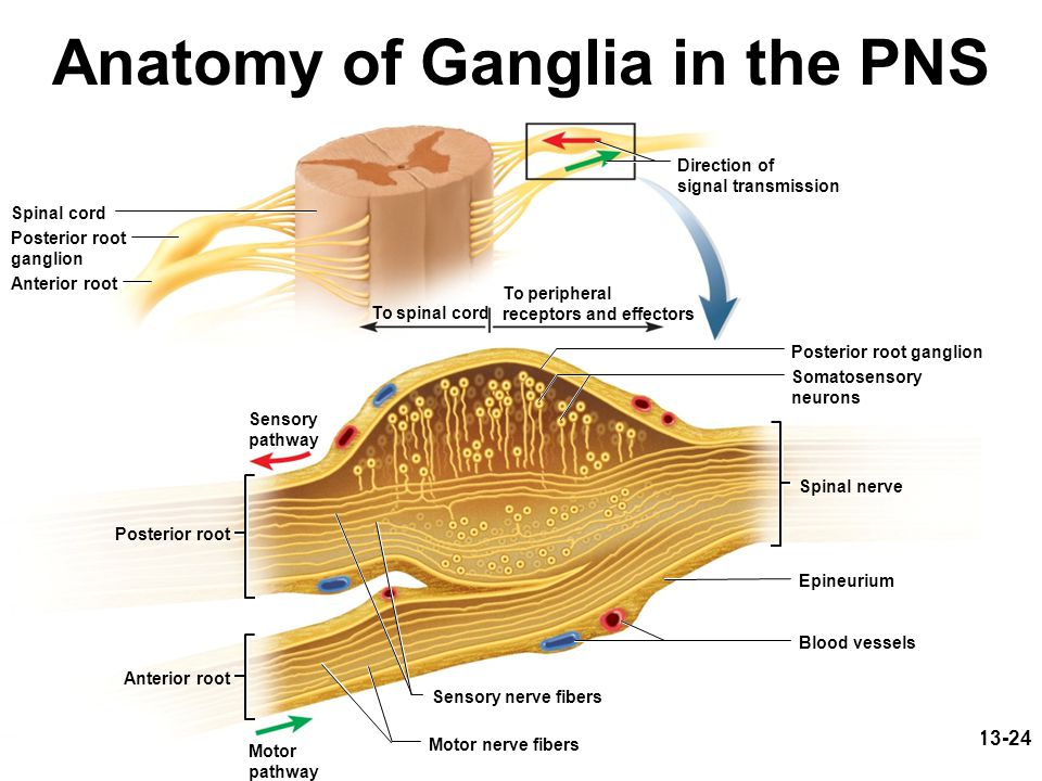 Anatomy of Ganglia in the PNS