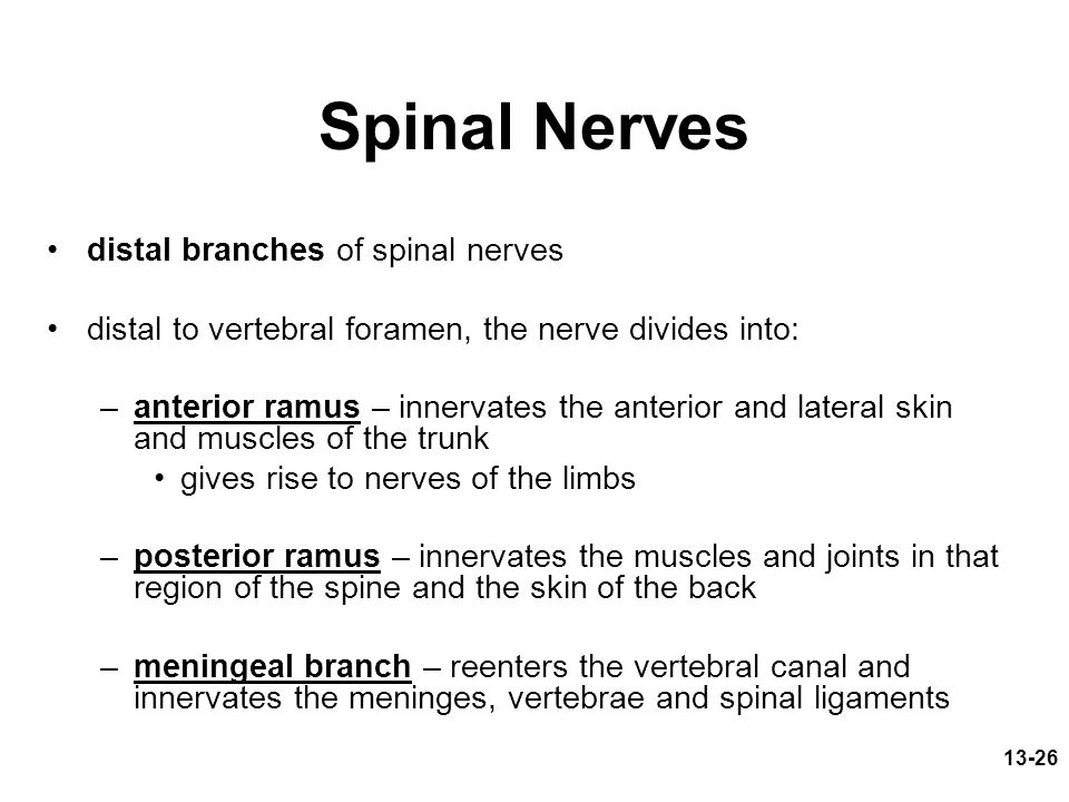 Spinal Nerves distal branches of spinal nerves
