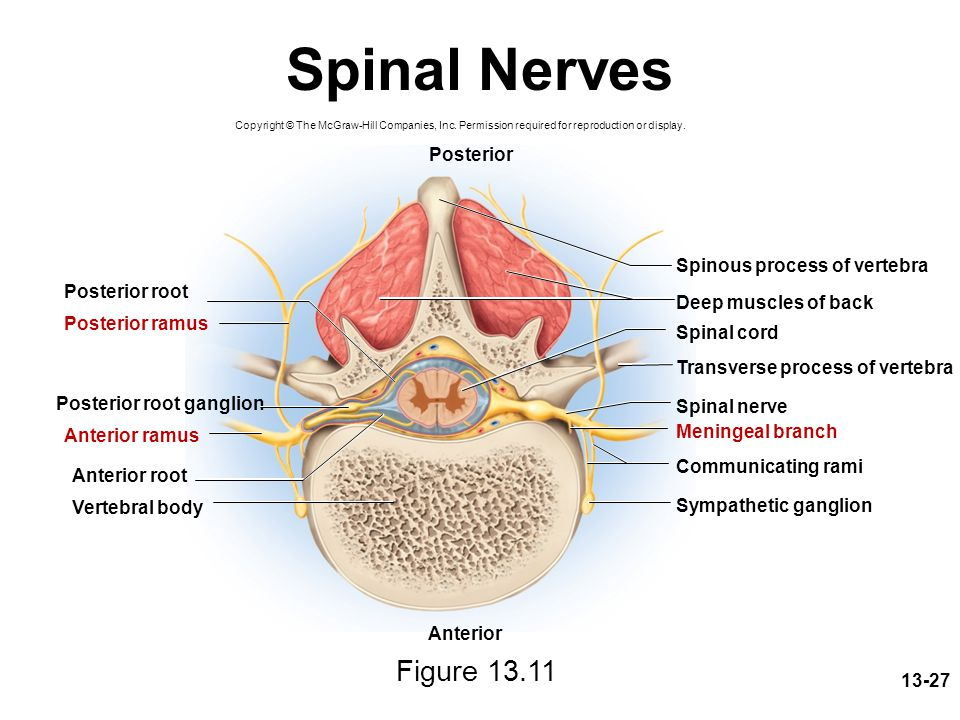 Spinal Nerves Figure 13.11 Posterior Spinous process of vertebra