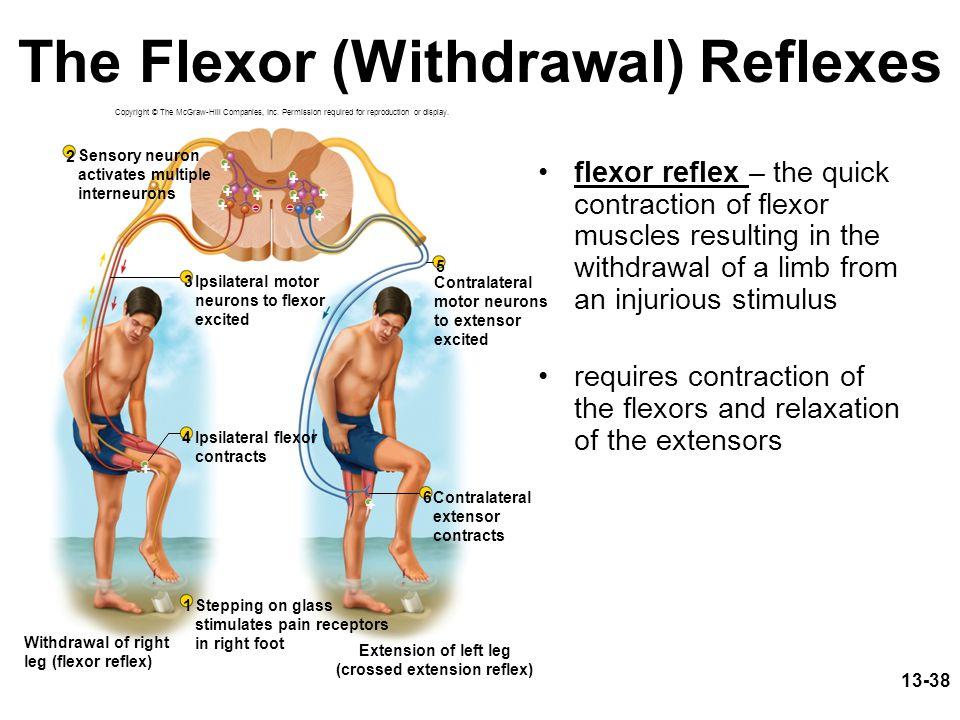 The Flexor (Withdrawal) Reflexes