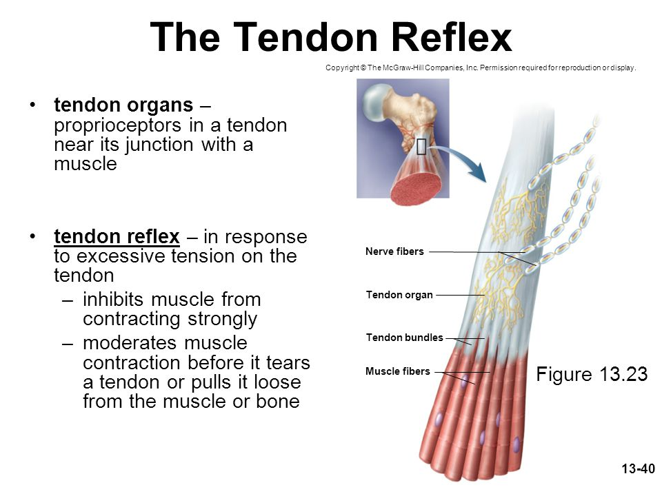 The Tendon Reflex Copyright © The McGraw-Hill Companies, Inc. Permission required for reproduction or display.