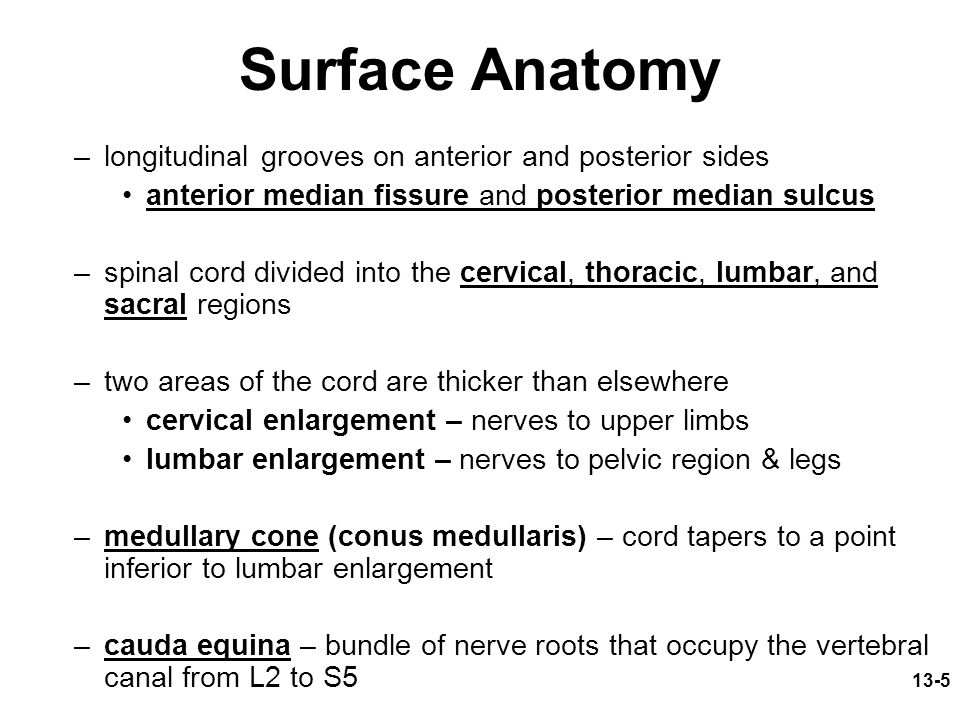 Surface Anatomy longitudinal grooves on anterior and posterior sides