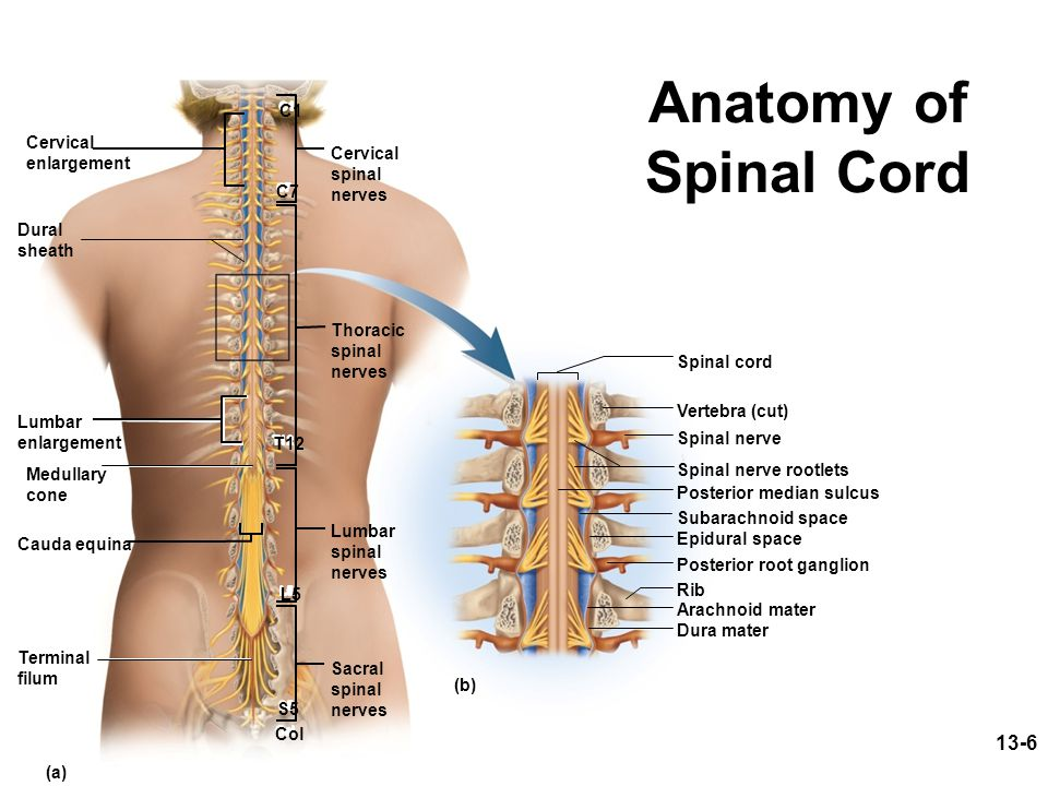 Anatomy of Spinal Cord 13-6 C1 Cervical enlargement Cervical spinal