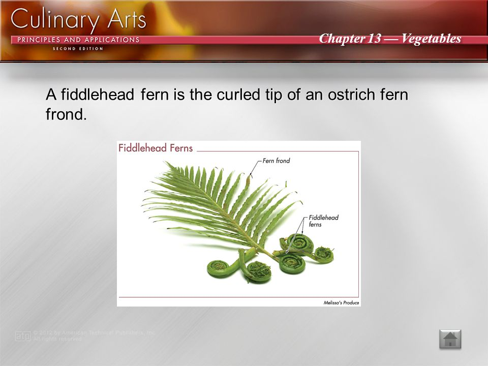 A fiddlehead fern is the curled tip of an ostrich fern frond.