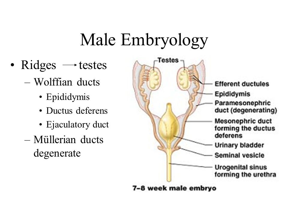 Male Embryology Ridges testes Wolffian ducts