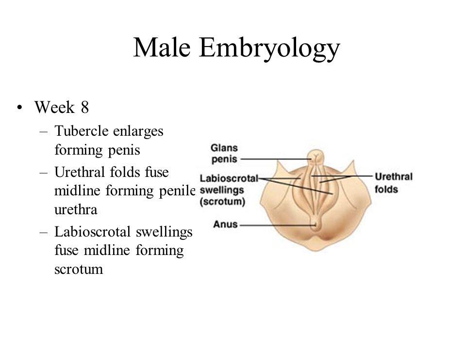 Male Embryology Week 8 Tubercle enlarges forming penis