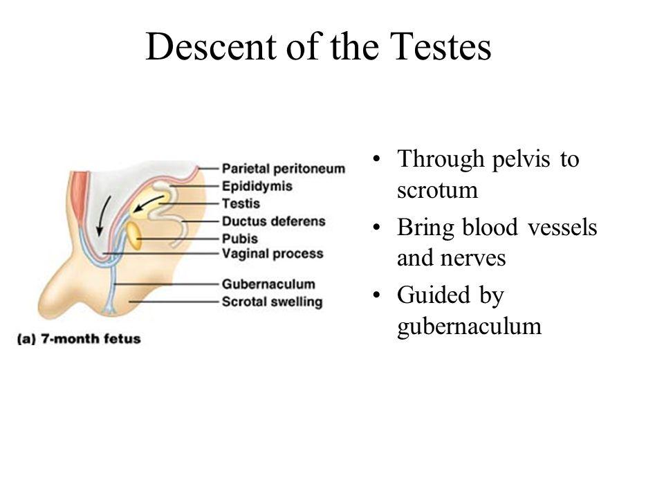 Descent of the Testes Through pelvis to scrotum