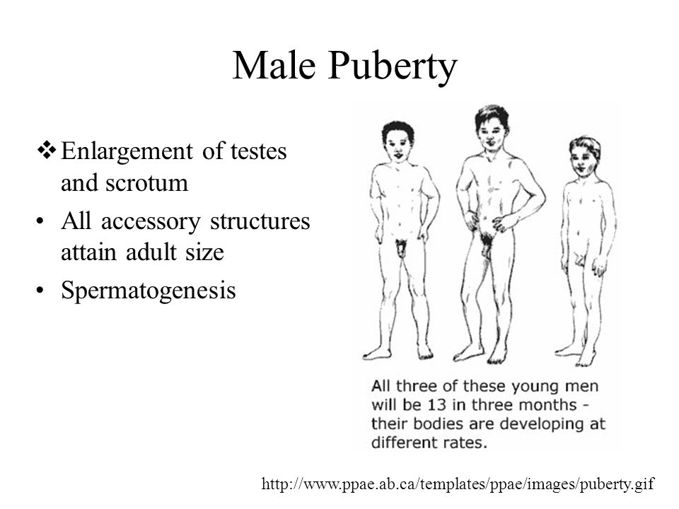 Male Puberty Enlargement of testes and scrotum