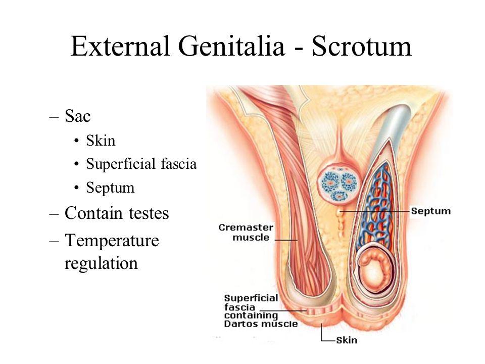 External Genitalia - Scrotum