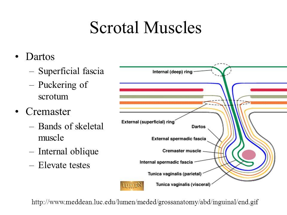 Scrotal Muscles Dartos Cremaster Superficial fascia