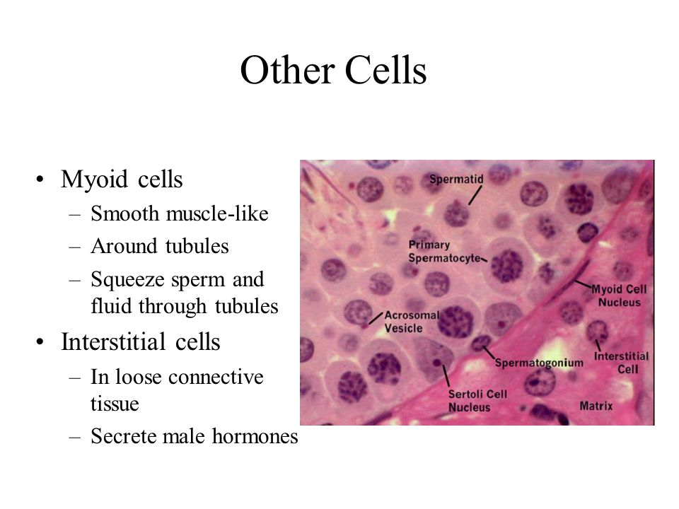 Other Cells Myoid cells Interstitial cells Smooth muscle-like