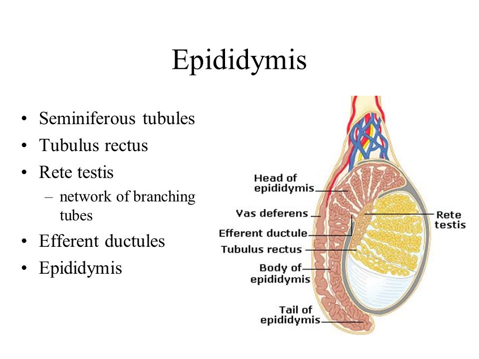 Sperm epididymal patients tubule incised