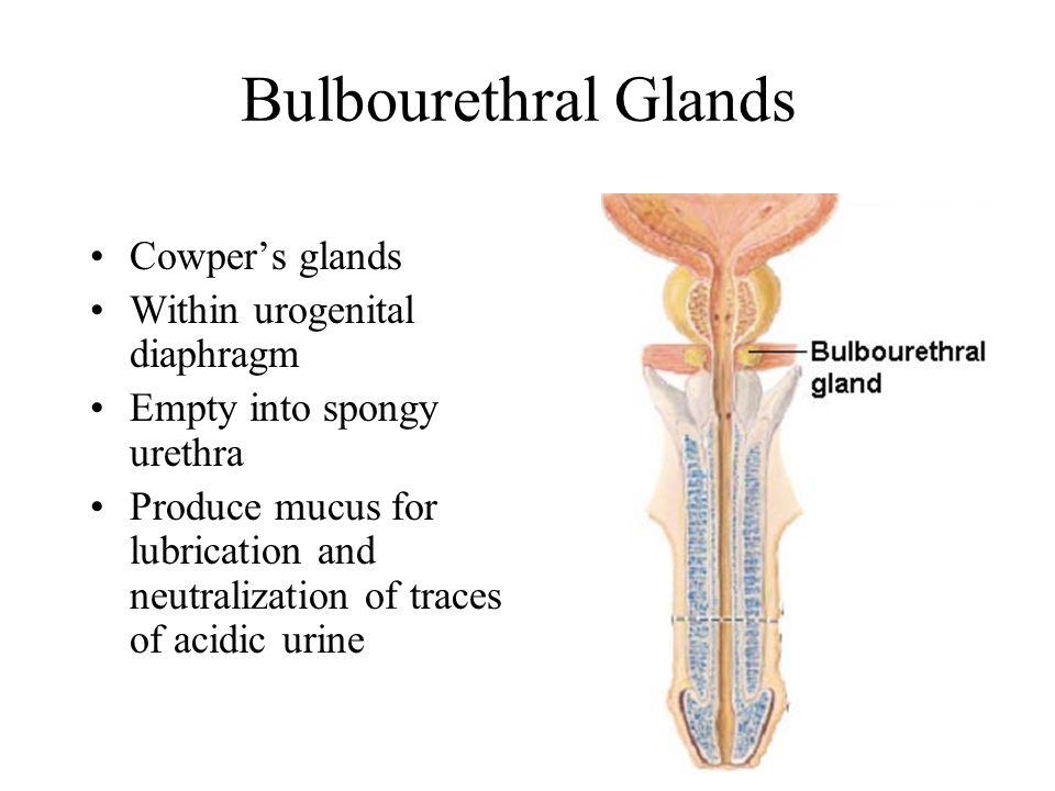 Bulbourethral Glands Cowper's glands Within urogenital diaphragm
