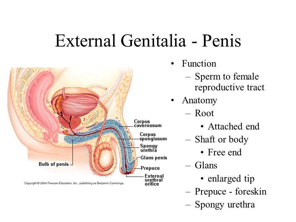 External Genitalia - Penis