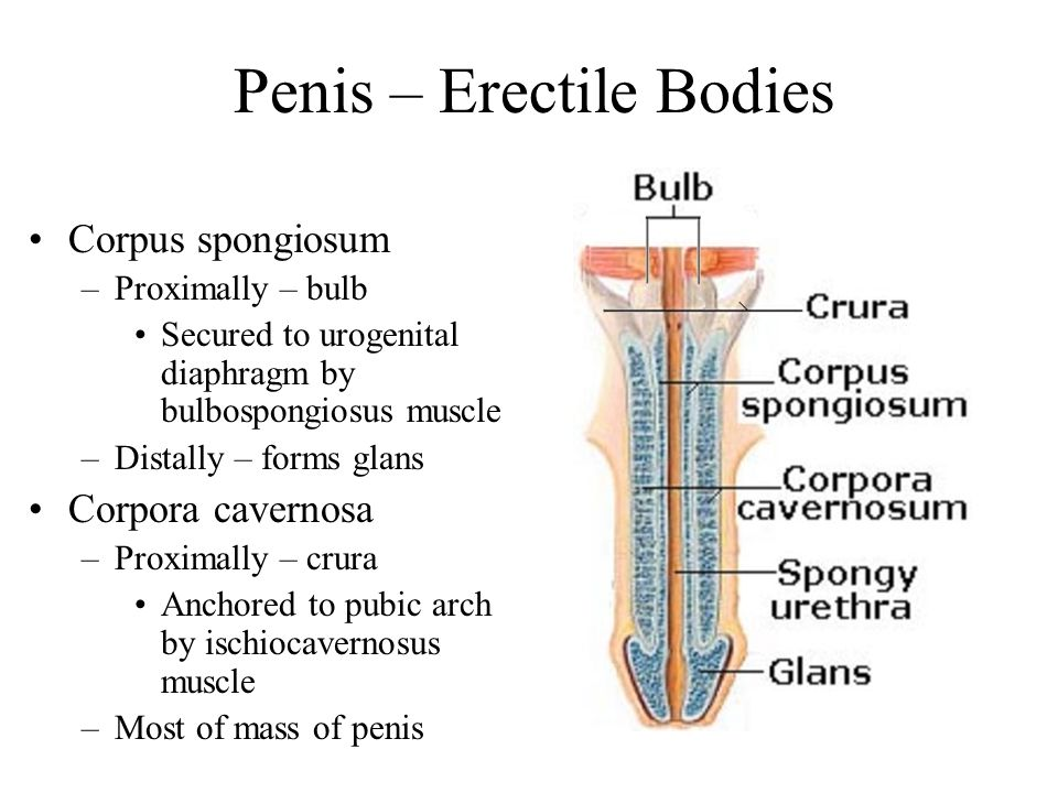 Penis – Erectile Bodies