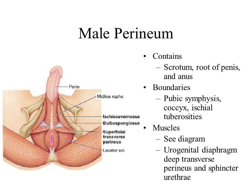 Male Perineum Contains Scrotum, root of penis, and anus Boundaries