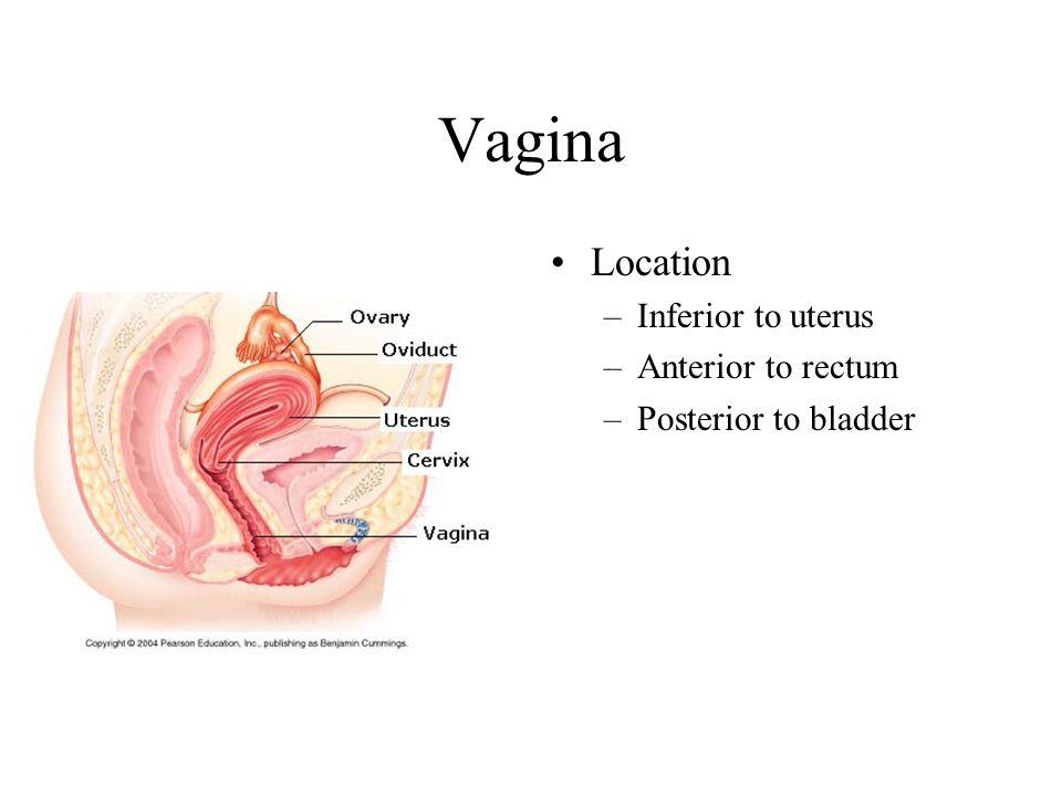 Vagina Location Inferior to uterus Anterior to rectum