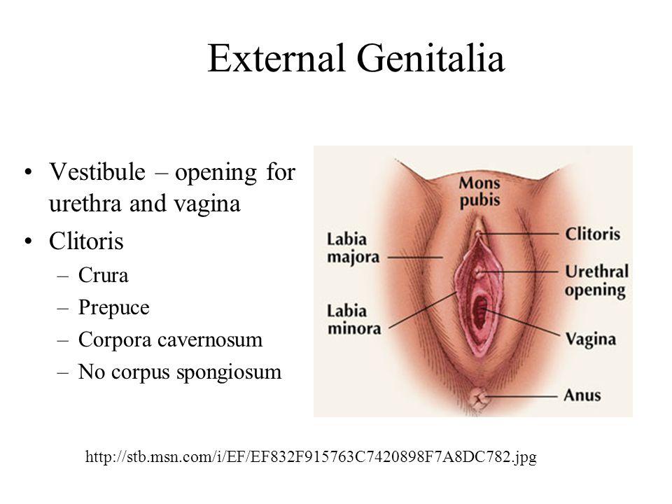 External Genitalia Vestibule – opening for urethra and vagina Clitoris