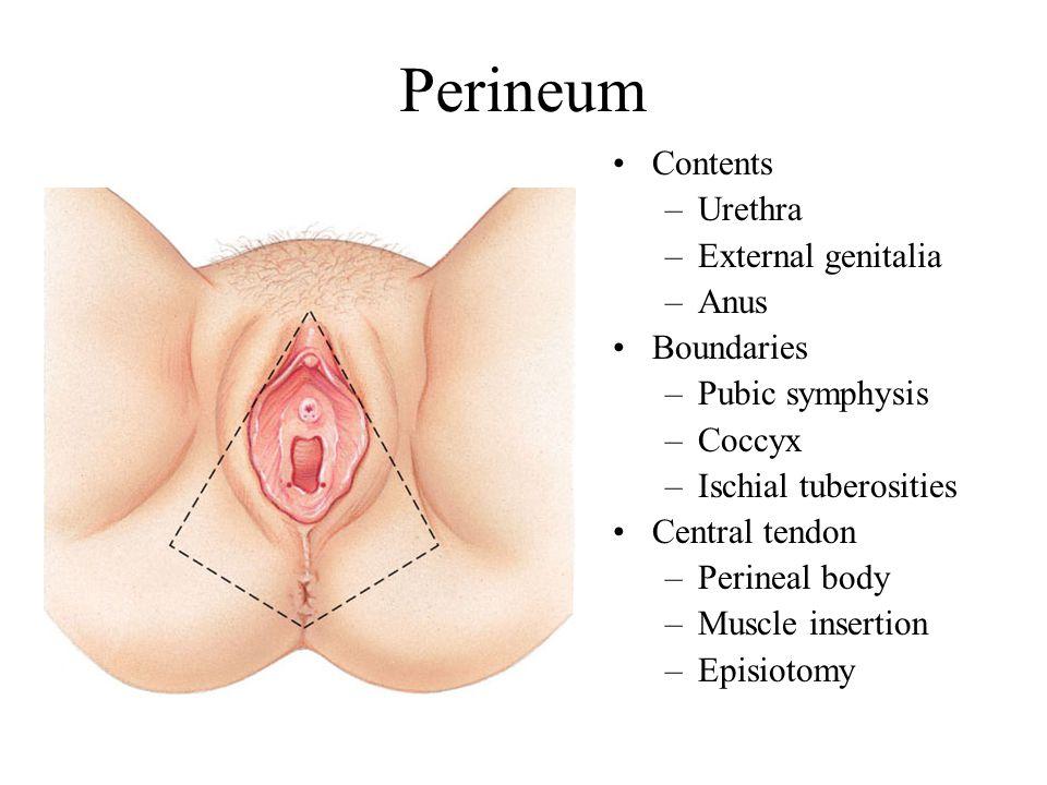 Perineum Contents Urethra External genitalia Anus Boundaries